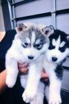 Superbe chiots Husky Sibérien a donner