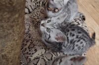 Adorable chaton British Shorthair a donner