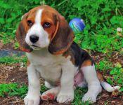 A Donner Chiots mâle beagle