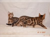Chatons Bengal a Donner