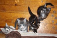 Adorable chatons Maine Coon A Donner