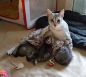 Magnifiques chatons Mau Egyptien a Donner