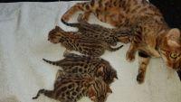 Adorables chatons bengal pour adoption