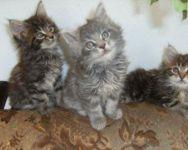 chatons Maine coon a donner contre bon soins
