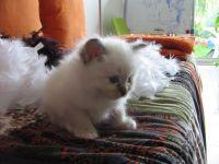 Chats - chatons sacre de birmanie