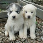 aimables chiots husky