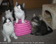 Magnifiques chatons Norvégien a donner