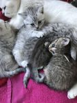Adorable chatons British shorthair A Donner