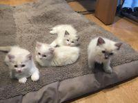 chatons Ragdoll à donner contre bon soin