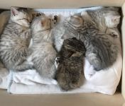 Chatons British shorthair A Donner