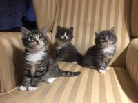 Chatons maine coon disponible