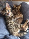 a adopter de suite nos chaton bengal