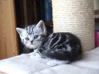 Chatons tigrés à adopter