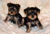 chiots yorkie a doner