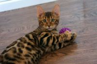 Magnifiques chatons bengal