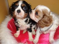 Adorable chiots type Cavalier King Charles