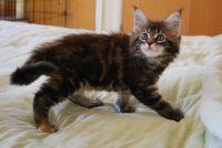 Magnifiques chatons maine coon